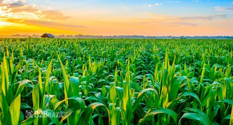 A importância do milho no mercado brasileiro